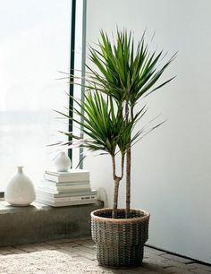 Living Room Plants Decor, Bedroom Plants, Bamboo House Plant, House Plants, Madagascar Dragon Tree, Feng Shui Plants, Types Of Houseplants, Corn Plant, Agriculture
