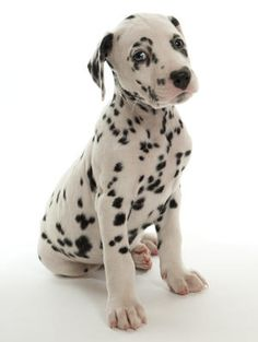dalmatians in the rain | Pedigree KC Registered Dalmatian Puppies in Morley, Leeds born 20/01 ...