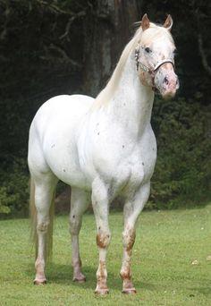 Skip's Supreme (imp USA) - New Zealand - Appaloosa stallion at stud