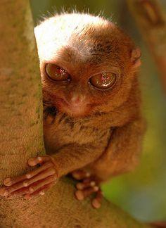 a Tarsier Scary Or Cute? Cute Creatures, Beautiful Creatures, Animals Beautiful, Primates, Mammals, Reptiles, Rare Animals, Animals And Pets, Unique Animals