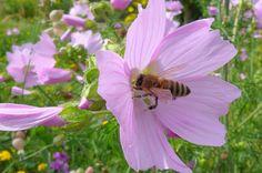 Malva moschata Moschusmalve mit Honigbiene  Aerzen 06.14 (4)a_Kuttig_sk Plant Illustration, Plants, Honey Bees, Bees, Creative Ideas, Nice Asses, Plant, Planets