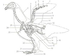 Bird Skeleton Diagram
