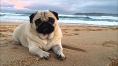 Image result for images  cute baby pugs