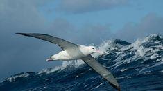Image result for Wandering albatross