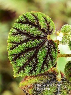 Begonia Conipila by Robert Tseu