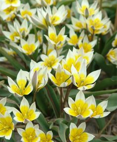 "TULIPA BIFLORA   1 / 1  Circa 1776, this fragrant beauty has three white flowers with large yellow hearts on each stem. The red-edged foliage offers a striking contrast. Bulb size: 5 to 6 cm. April. 5"". HZ: 5-8."