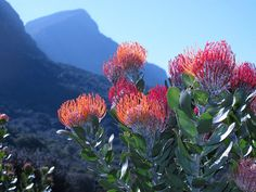 Best Time to See The Bloom of Fynbos in Cape Town 2020 - Rove. Protea Plant, Protea Flower, Flowers Nature, Beautiful Flowers, National Botanical Gardens, Luxury Garden Furniture, Africa Destinations, Australian Plants, Desert Plants