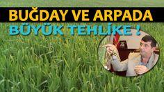 Buğday ve Arpadaki büyük tehlikeye çözüm