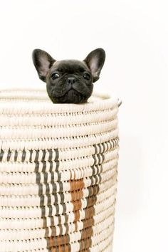 Hi! French bulldog pup playing peek a boo