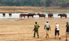 Days at Mwaleshi centre around walking safaris in the game-rich North Luangwa. Africa Travel, Safari, Centre, Walking, Adventure, Game, Walks, Gaming, Adventure Movies