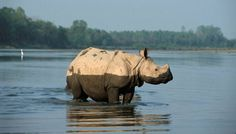 Indian rhino in water
