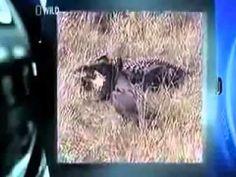 Video of lion vs crocodile - lions beat crocodile