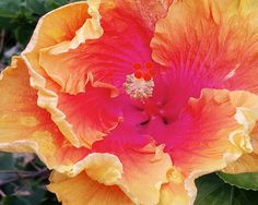 Bright Sunset Colored Hibiscus Flower Nature by CraftyKai on Etsy