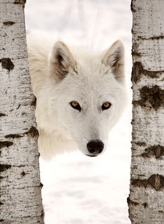 Arctic Wolf looking between two trees