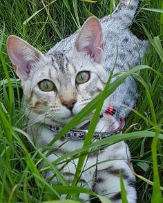 Sassy  #catstagram #catsofig  #bengalcat  #cats #cat  #catsworld  #catslover #catslovers  #catsrule  #catsinstagram  #catinstagram  #catlover  #catlovers  #cateyes #catwalk #caturday #catoftheday  #catofinstagram  #bengal  #bengals  #bengalsofinstagram #catsdaily  #catsagram #кот #meow #котэ #whiskas #royalcanin #friskies #feline