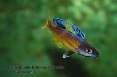 Cyprichromis kitumba Tropical Freshwater Fish, Tropical Fish, Planted Aquarium, Aquarium Fish, Lake Tanganyika, Clay Fish, African Cichlids, Underwater Life, Drawing Stuff