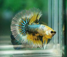 Breathtaking color beautiful find too betta fish for Petco koi fish