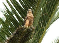 Tuulihaukka (Falco tinnunculus). Vueltas 24.2.07.  by J.Brunell