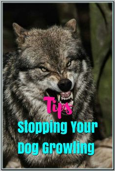 Ways Of Stopping Your Dog From Growling - Dog Training Tips and Tricks Leash Training, Dog Training Tips, Large Dogs, Small Dogs, Dog Growling, Pet Dogs, Pets, Pet Store, Easy Workouts