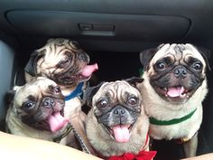 Stowaway pugs want to go with you to the farmer's market.