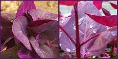 Loboda, proprietati, beneficii, mod de utilizare, contraindicatii Plant, Life