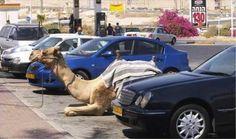 scènes incroyables que vous ne pourrez voir qu'à Dubaï... Parking à chameaux