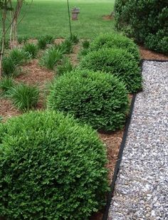 Buxus x 'Green Velvet' -Green Velvet Boxwood (2' x 2') zone 4-8     Need to learn more about this shrub...very pretty!