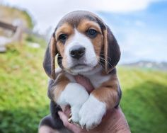 35 beagles and pugs rescued from hoarder situation in Encinitas