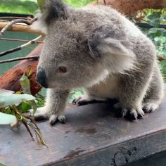 Cute Wild Animals, Rare Animals, Cute Little Animals, Cute Funny Animals, Animals Beautiful, Cute Dogs, Funny Koala, Cute Koala Bear, Baby Koala