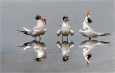 Terns singing The Happy Fish Dance Pretty Birds, Love Birds, Beautiful Birds, Image Resources, Shorebirds, Sea Art, Sea Birds, Great Shots, Bird Feathers