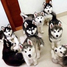 Where Is My Husky - Husky Beautiful, Funny Momment Photos — See more Beautiful Siberian Husky Dog photos,...