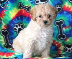 Jenny | Cockapoo Puppy For Sale | Keystone Puppies