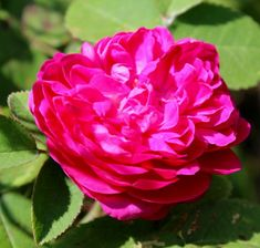Rosa Gallica (apothecary's rose)--VERY fragrant and hardy