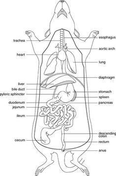 Earthworm Diagram Worksheet Att U Verse Wiring Rat Dissection Worksheet- Head, Thoracic , Abdominal Also Virtual Available Same Site ...