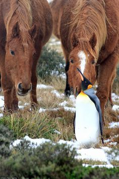 One of the horses arches his neck to catch a closer look of the penguin as they struck up ...