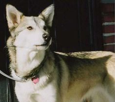 timber wolf and husky mix <3