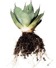 PARRY'S AGAVE Agave parryi var. truncata is a compact, rosette-forming succulent with squared-off blue-gray leaves; its yellow flowers appear in summer. It can grow 2 to 3 feet tall by 3 to 4 feet wide. Great in a succulent garden or a container garden. Garden Design Calimesa, CA
