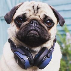 Nothing beats listening to some tunes! Photo by @itsalbertthepug Want to be featured on our Instagram? Tag your photos with #thepugdiary for your chance to be featured.