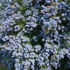 Ceanothus concha (Californian Lilac) Frost hardy, drought tolerant, seaside friendly : )