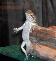 bearded dragons - Google Search