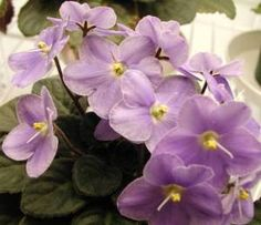 African Violets are supposed to be hardy. Mine are starting to die.