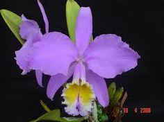 Cattleya mossiae néven is ismert Flor de Mayo,