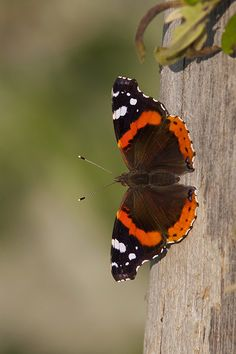 Red Admiral ! What a surprise! One in my garden 1st March 2014.
