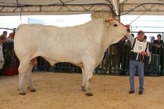 Chianina - largest breed of cattle this...is one big cow