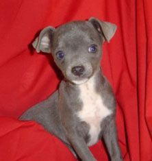 blue chihuahua - I WANT ONE!!!