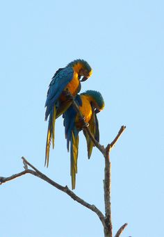 blue and gold macaw nesting