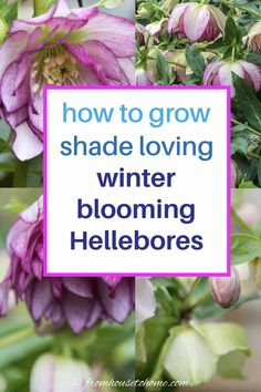 Hellebores are one of the easiest and earliest shade plants to grow for later winter and early spring flowers. They come in pink, green, white and purple varieties so there's a color for every landscape. Also known as Helleborus, Lenten Rose or Christmas Rose. Click through to find out how to grow Hellebore. #fromhousetohome #gardeningtips #gardenideas #shadegarden #plants #groundcover Partial Shade Perennials, Shade Flowers Perennial, Shade Garden Plants, Flowers Perennials, Perennial Bushes, Early Spring Flowers, Lenten Rose, Gardening For Beginners, Gardening Tips