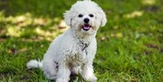 30 Small Hypoallergenic Dogs That Don't Shed - Barking Royalty Puppies That Dont Shed, Dog Breeds That Dont Shed, Best Small Family Dogs, Cute Puppies, Cute Dogs, Dog Whining, Calm Dog Breeds, Dog Food Brands, Dog Shedding