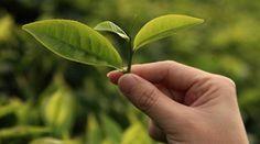 Découvrez les 11 bienfaits du thé vert