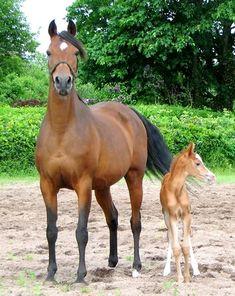 Memoria (Fadjor x Vegah) 1993 bay mare bred by Jedania Arabian Horse Stud, Denmark